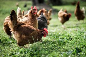 Bienestar animal y la implicación del estrés sobre el sistema inmunológico y la producción